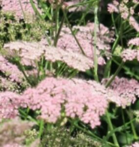 Pimpinella major 'Rosea'  in 7cm pot FREE DELIVERY ON 5 OR MORE OF ALL PLANTS
