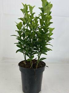Euonymus Green Spire 9cm x 100