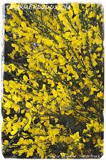 Cytisus scoparius 'Scotch Broom' [Ex. Co. Durham] 50+ SEEDS