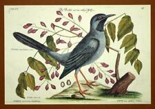 Gravure Ornithologie Oiseau GRIVE CENDREE D AMERIQUE