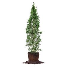 Italian Cypress, Live Plant, Size: 2-3 ft.