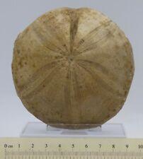 Jurassic Bajocian Fossil Sea Urchin Clypeus Ploti Found in UK + Stand