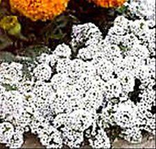 ALDER Basket of Silver. White. 120 Seeds