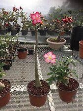 1 adenium plants issue de semis hybrides 005
