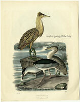 Black-crowned Night Heron & Eurasian Bittern, Orig hand colored lithograph, 1859