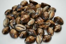 60+ PCS HUMPBACK CYPRAEA COWRIE SEA SHELL BEACH DECOR 1 LB #7631
