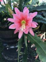 Agatha epiphyllum orchid cactus cuttings