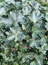english ivy plant Cuttings No Roots 20 Starts Hardy Groundcover