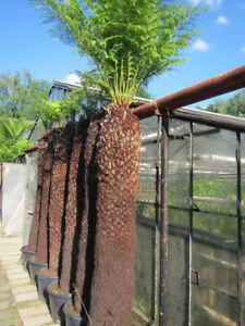 Dicksonia antarctica - Baumfarn - 200-220cm Stamm / 350cm Pflanze   -12°C