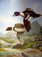 Angus H. Shortt   Original 1948 print in Fine condition  Barrow's Goldeneye Duck