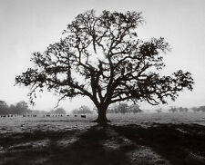 ANSEL ADAMS - Oak Tree, Sunrise PHOTO ART PRINT 16x20 Poster