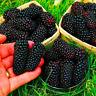 200 PCS Seeds Jumbo Thornless Blackberry Bonsai Fruit Home Garden Plants Rare N