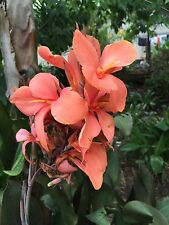 canna lily apricot delight growing rhizome