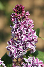 Stamm - Edelflieder, Syringa vulgaris `SENSATION´ - Stammhöhe 80-100 cm