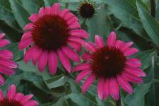 100pcs Dark Pink Echinacea Coneflower Outdoor Flower Seeds Perennial Home Garden