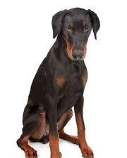 Doberman Pinscher / Dog 8 x 10 / 8x10 Glossy Photo Picture