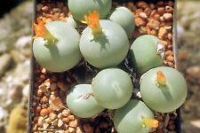 5 graines de PLANTE BOUTON(CONOPHYTUM CALCULUS) H427 BUTTON PLANT SEEDS  SAMEN