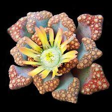 Titanopsis hugo-schlechteri 20 seeds Cactus Succulent Garden Plant Gift Flower