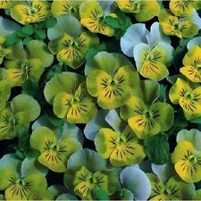 35+ Miniola Aqua Heart Bi-Color Viola / Perennial Flower Seeds