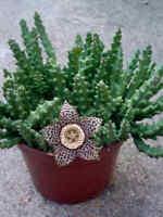 "STAPELIA variegata cactus cacti succulent 2 rooted stems 2-4"" tall"