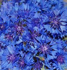 100 Samen Kornblume Blauer Junge - Centaurea cyanus