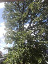 CHENE Vert Truffier  -Quercus ilex  Gland ♫Arbre Ornemental, Bonsaï