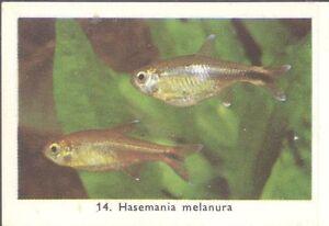 Rizla (NL) - Exotic Aquarium Fish, Series 1 - 14 - Silvertip tetra