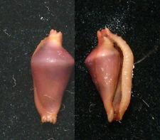 Formosa/shells/Dentiovla harai 9.1mm