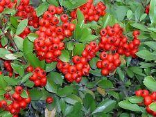 30 Seeds - Scarlet Firethorn Pyracantha coccinea Shrub Seeds! Free Shipping!