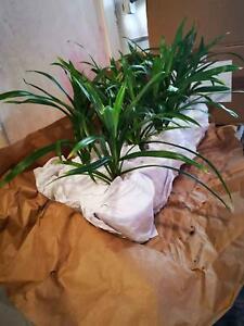 Pandan plant