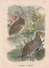 Reclamos Perdix perdix codorniz Coturnix litografía para 1900 Grey Partridge