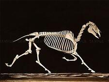 PHOTO VINTAGE ANATOMY MUYBRIDGE HORSE SKELETON DOWN TROTTING LARGE PRINT LF1043