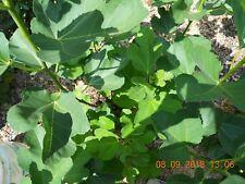 "Fig tree ""Black Madeira""- 3 cuttings"