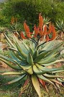 Eine tolle Sukkulente für Ihren Wintergarten ist die wunderschöne Feuer-Aloe !