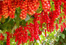 200PCs Seeds of Wild Schizandra Tree Bonsai Fruit Health Home Gardening Planting