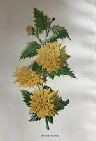 ANTIQUE PRINT C1900 DOUBLE KERRIA GARDEN FLOWERS BOTANY BOTANICAL FLOWER ART