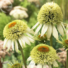 100 'Coconut Lime' Echinacea, 100 Seeds, coneflower single row of green