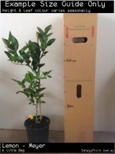 Lemon - Meyer (Citrus limon) Fruit Tree Plant