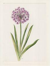 Zierlauch Allium aflatunense Offset-Lithografie 1965 Anne Marie Trechslin