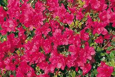 Zwergzalee Gislinde 20-25cm Rhododendron obtusum Frühlingsblüher