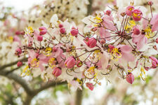10 seeds White-Pink Flowers Clouds - Cassia bakeriana Craib-Pink Shower
