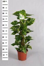 Epipremnum aureum Moosstab 80cm Efeutute  Zimmerpflanze Büropflanze Goldranke !!