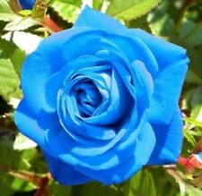 25x Rare Multi-Colors Light Blue Rose Flower Seeds Garden Plant, UK Seller