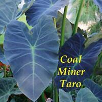 ~COAL MINER TARO~ Colocasia esculenta ORNAMENTAL ELEPHANT EAR Live potted Plant
