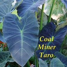 ~COAL MINER TARO~ Colocasia esculenta ORNAMENTAL ELEPHANT EAR Live potted Plant