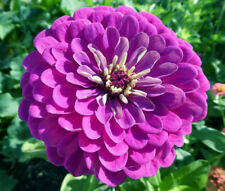 ZINNIA PURPLE PRINCE Zinnia Elegans - 1,100 Bulk Seeds