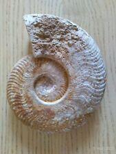 Ammonite fossile 11 cm