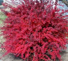 100PCs Japanese Berberis Thunbergii Tree Seeds Red Barberry Viable Seeds Bonsai