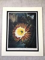 1975 Botanische Aufdruck Kakteen Night Blowing Cereus Kaktus Blumen Tempel von