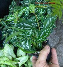 PILEA - ALUMINUM PLANT  - 6 PLUGS - LIVE PLANTS